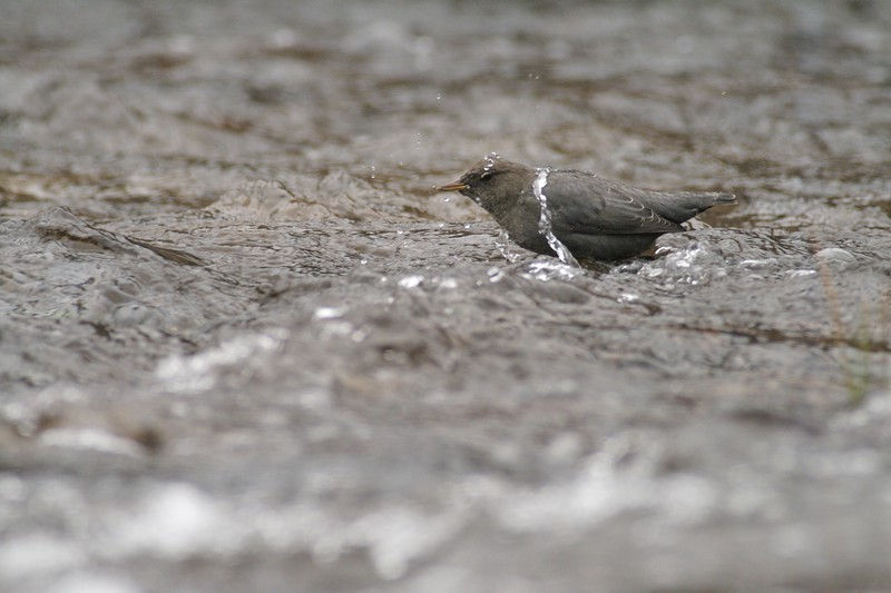 Dippers have the ability to dive under water to feed on aquatic insects [September; Yellowstone National Park, Wyoming]