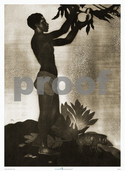 339: John Kelly: 'Breadfruit' From an aquatint etching. Ca. 1940's, showing a handsome male Hawaiian teenager picking breadfruit from a tree. Almost a silhouette, this sepia-tone print exemplifies Kelly's masterful skill with which he was able to capture the native Hawaiian figure. (PROOF watermark will not appear on your print)