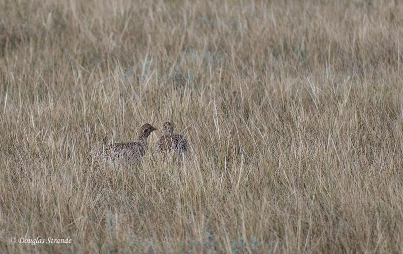Prairie Chickens (Pinnated Grouse)