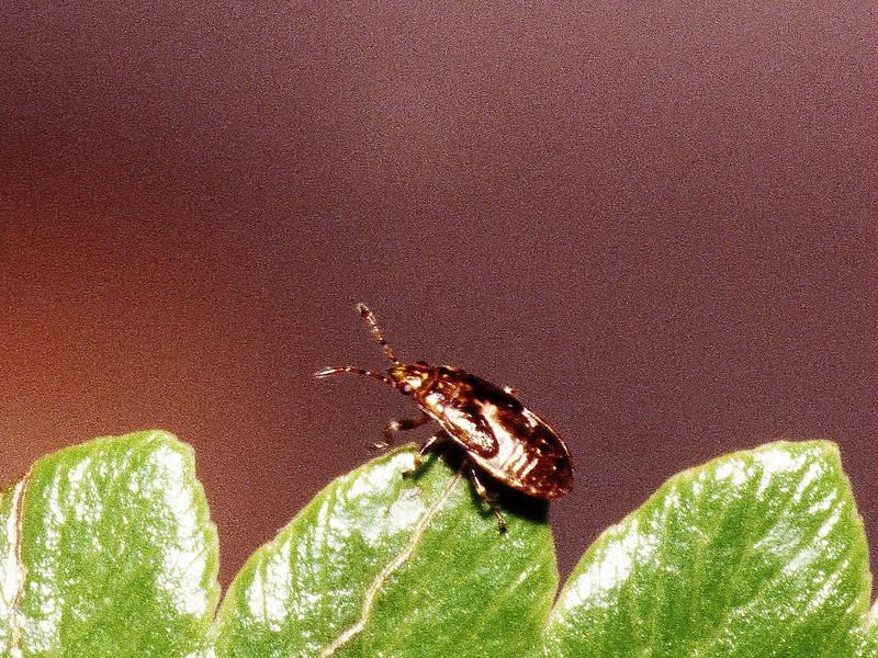 Neseis sp. (Heteroptera: Lygaeidae) on Lobelia gloria-montis, West Maui