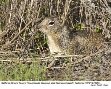California Ground Squirrel A28086.jpg