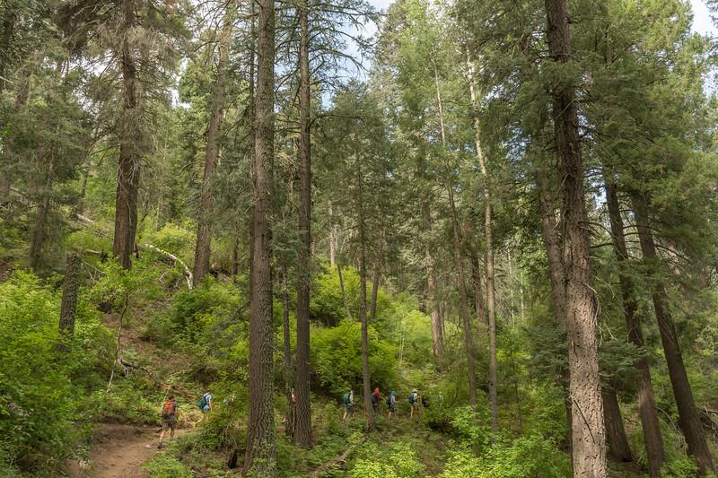 Mt Lemmon Old Growth #9