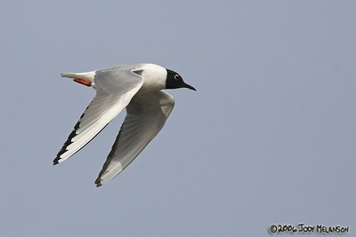 Bonaparte Gulls