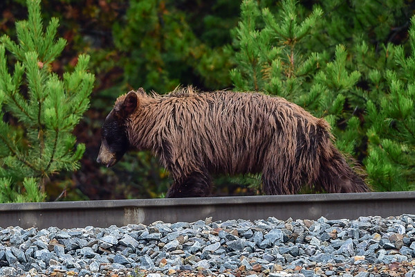 9-06-15 Brown Bear - Banff