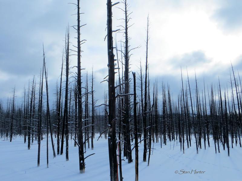Trees killed by geothermal runoff.jpg