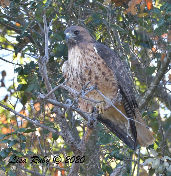 Red-tailed Hawk  - 1/4/2020 - Lake Hodges Bernardo Bay Trail, CBC