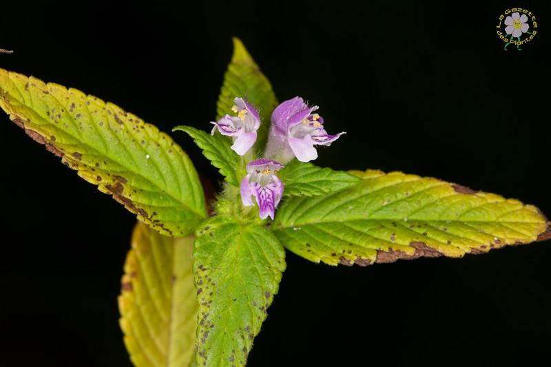 Galeopsis bifide (Galeopsis bifida)