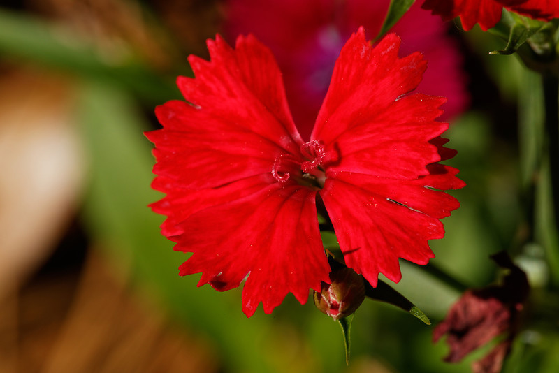 China Pink (Dianthus chinensis)