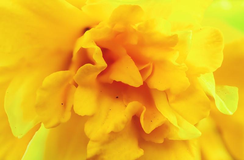 Daffodil_stack2.jpg