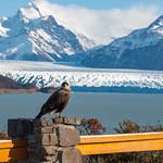 Caracara bird posing in front of Perito Moreno Glacier, Argentina