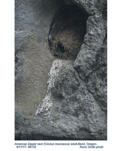 American Dipper nest 96135.jpg