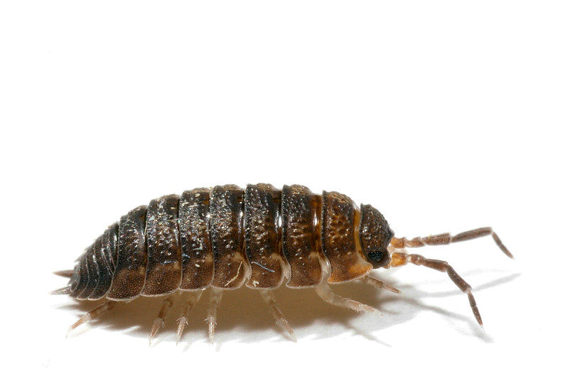 Woodlouse on white.