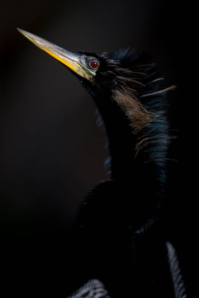 Anhinga close-up, Everglades National Park