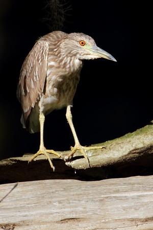Yellow Crowned Night Herons