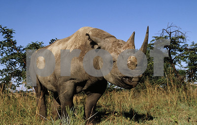ambitious-plan-would-bring-rhinos-to-texas-for-survival