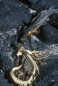 Marine iguanas 1998 El Nino event