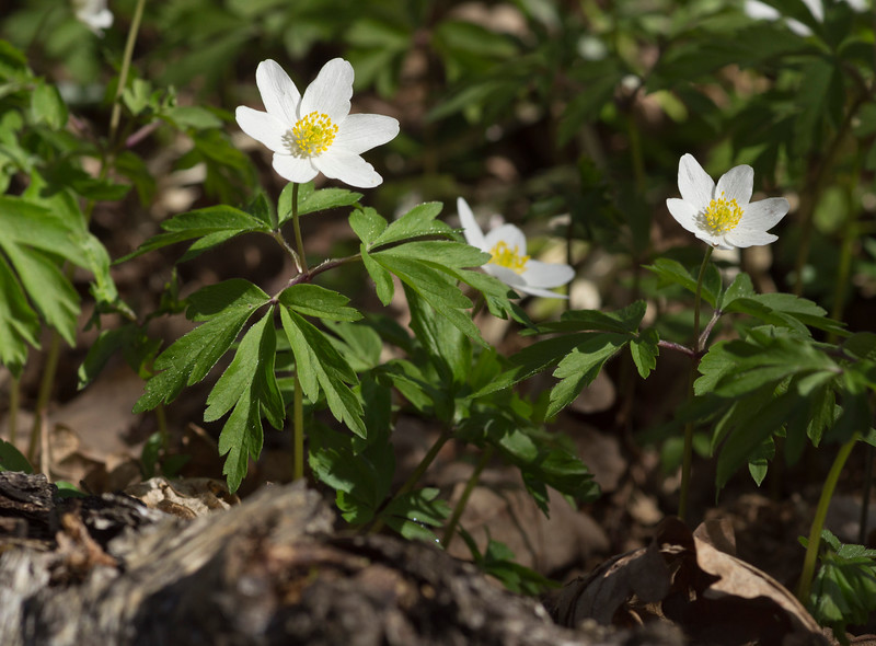 White Forest Anemone I