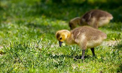 Ducks, Ducks, Ducks!