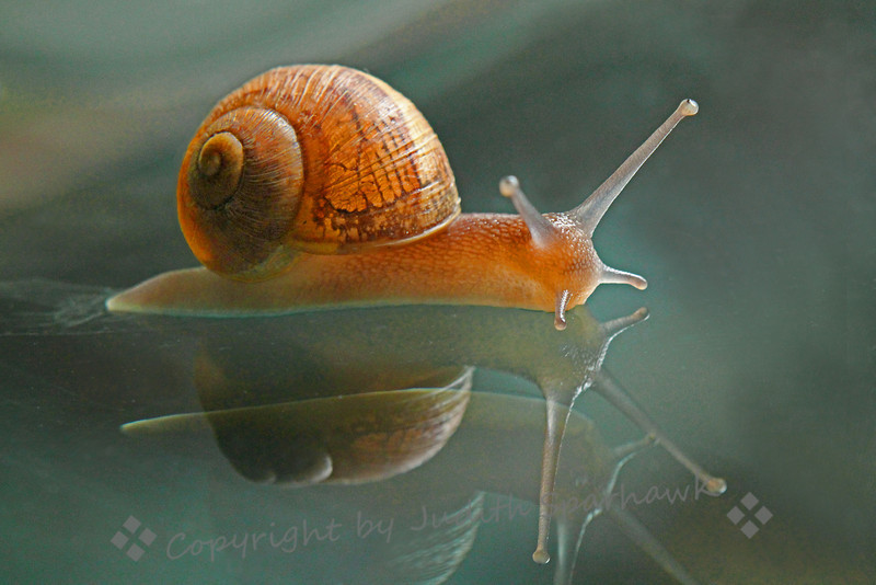 Reflected Snail, Reflected ~ This young snail crawled onto the glass table top in my livingroom.  I was surprised when I saw the image on the computer screen, to see that he was reflected in the glass, and his reflection appeared to be reflected as well.  You haven't lived until you clean up snail poop off the furniture!
