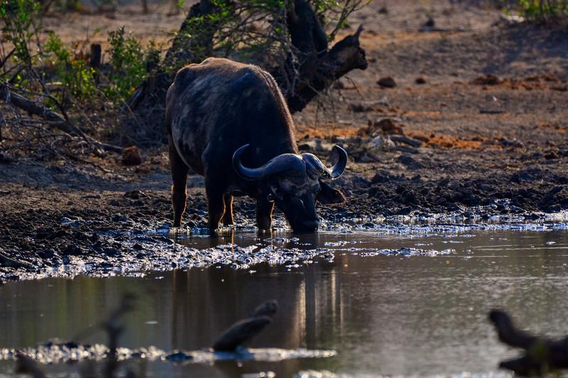 Cap Buffalo Drinking Water.jpg