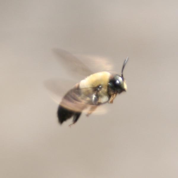 Bee in Flight - 4
