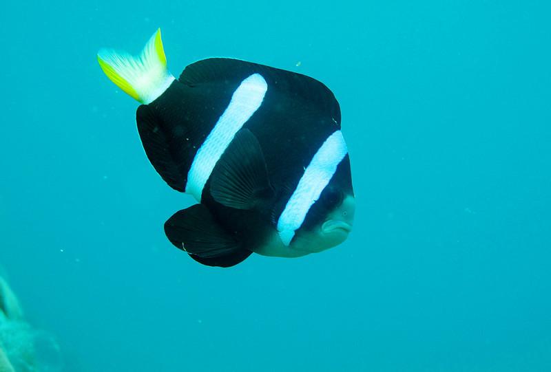 IMG_7428Ar_Clark's anemonefish (Amphiprion clarkii).JPG