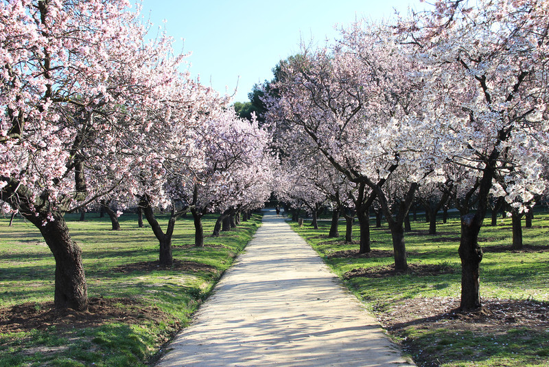 Pink blossoms cover the trees at El Quinto de Molinos Park in Madrid on a spring day.