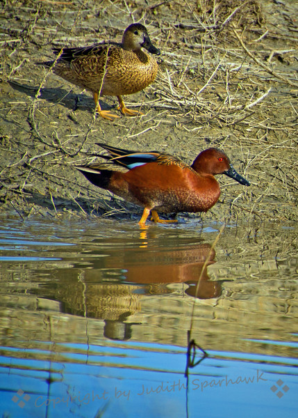 Cinnamon Teal Pair