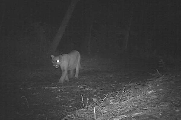 Remote Field Cameras-Walking the trails of lions