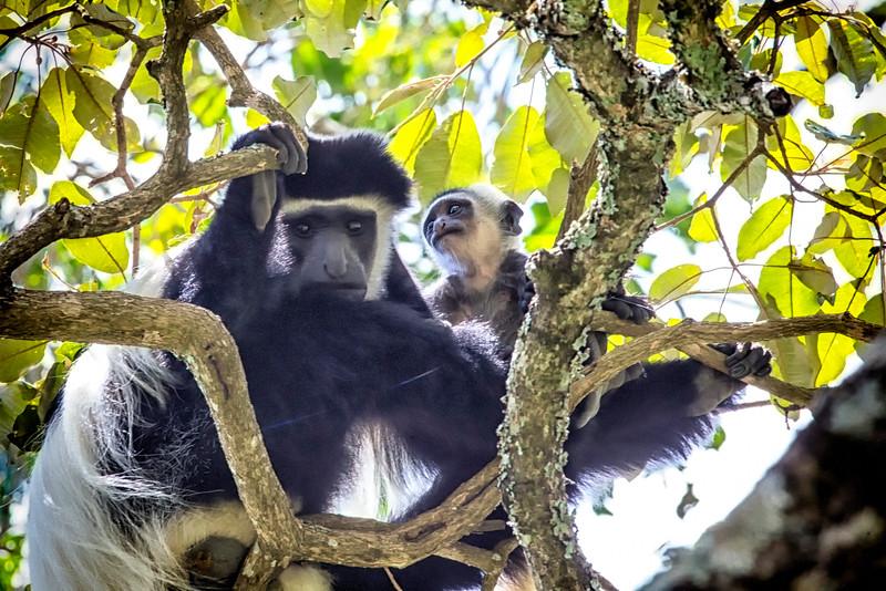 Black & White Colobus, Arusha NP, TZ
