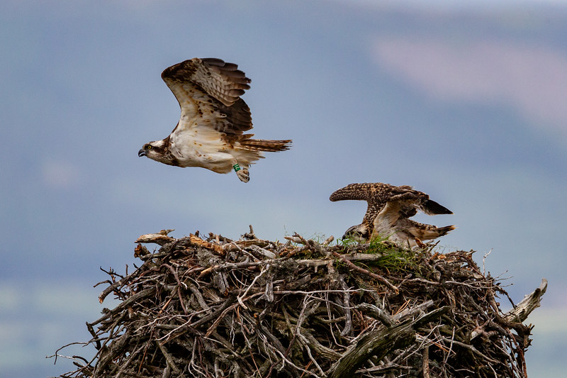 Adult Osprey Leaving the Nest