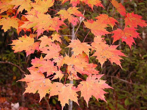 red orange maple leaves on our hike Auger Hole Rd.. which is open to rangers and hunters, but hikers have to walk. Gorges State Park NC