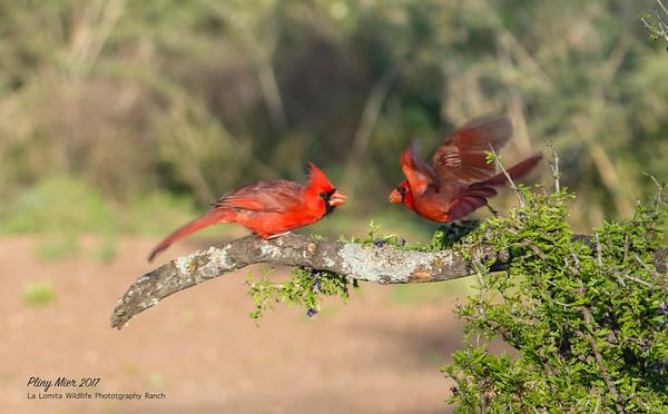 Cardinal dual.jpg