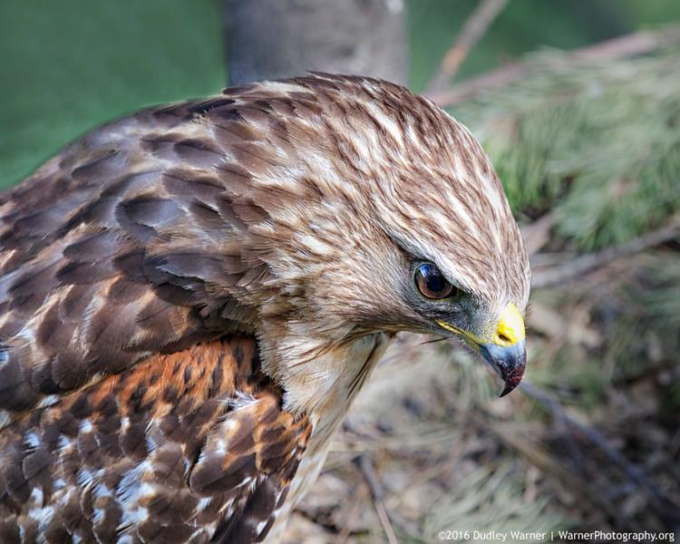 Female Red-shouldered Hawk on Nest.jpg