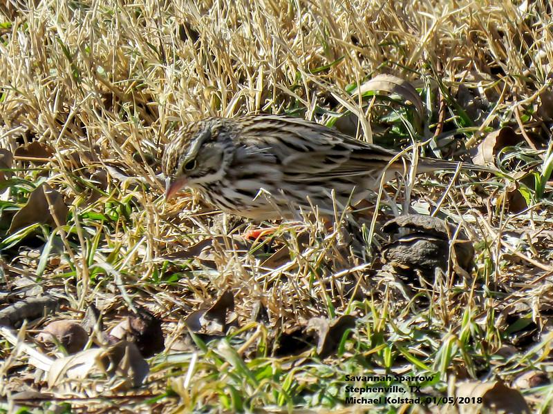 IMG_9300 3T Savannah Sparrow Stephenville 105 1416.jpg