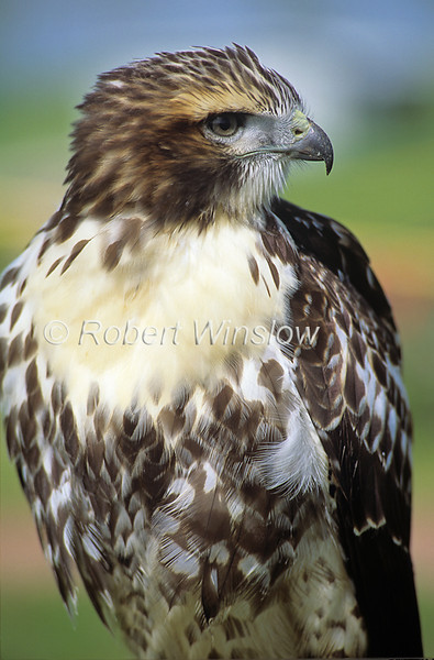Juvenile, Red-tailed Hawk, Buteo jamaicensis, North America, controlled conditions