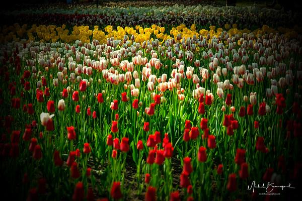 Ottawa 2017 festival des tulipes