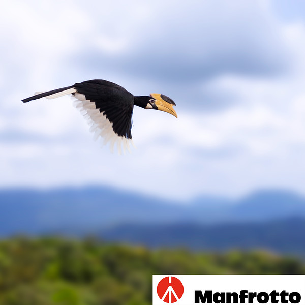 Malabar Pied Hornbill Flying Over Jungle in Sri Lanka