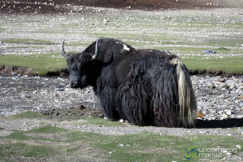 Yak Time - Nimiling, Ladakh