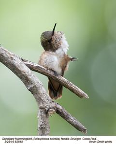 Scintillant Hummingbird F82815.jpg