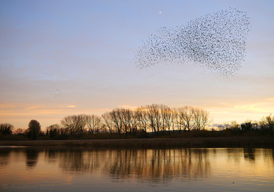 Starlings & Orioles