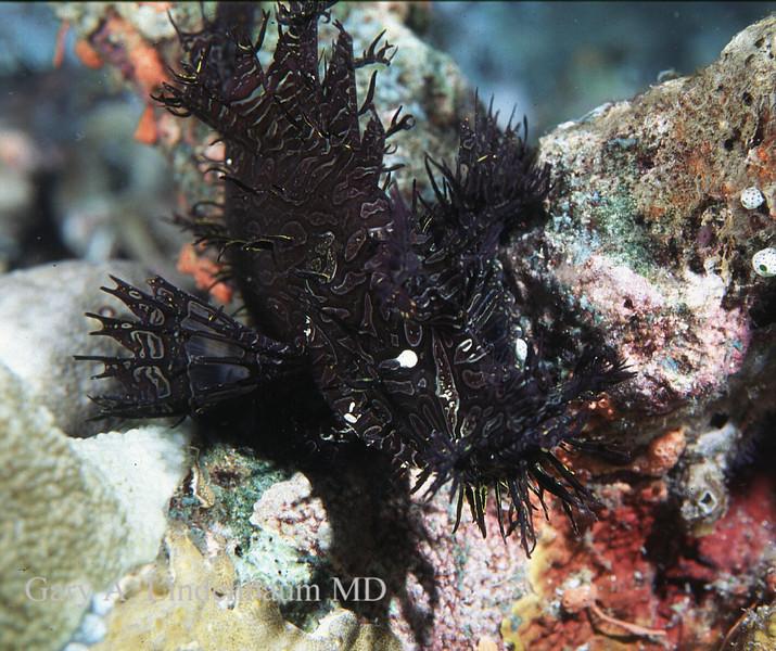 Rhinopus18.JPG