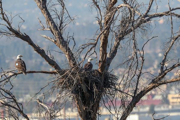 Local Bald Eagle Nest