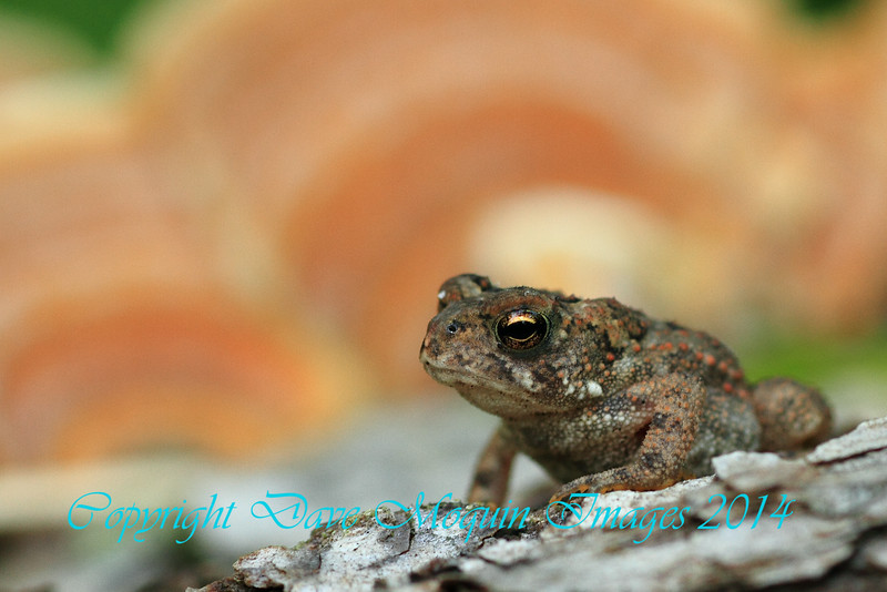 American Toad- Fox Landing