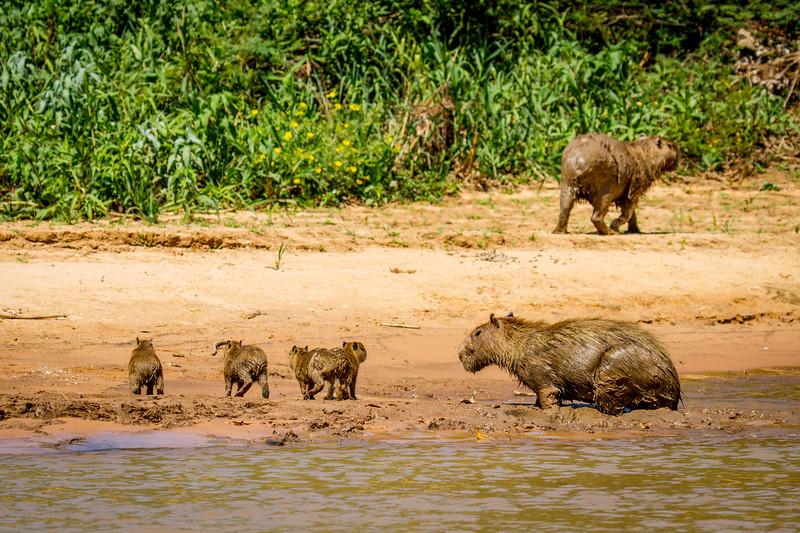 capybara (Hydrochoerus hydrochaeris) Pantanal, Poconé, Brazil. Family on muddy beach.