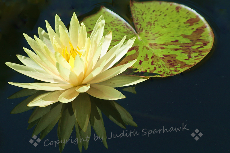 Lily Reflections.jpg