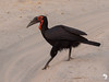 Southern Ground Hornbill in the Road