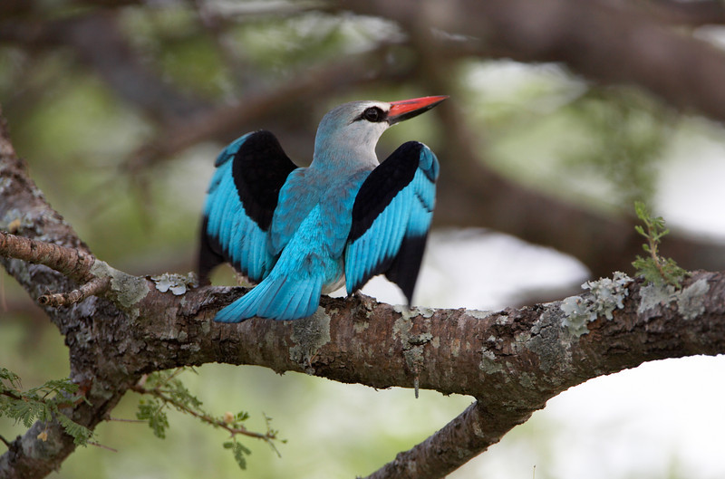 woodland Kingfisher - 3521.jpg