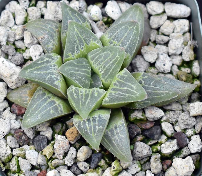 Haworthia x (pygmaea Japanes Clone) 2020-08-30