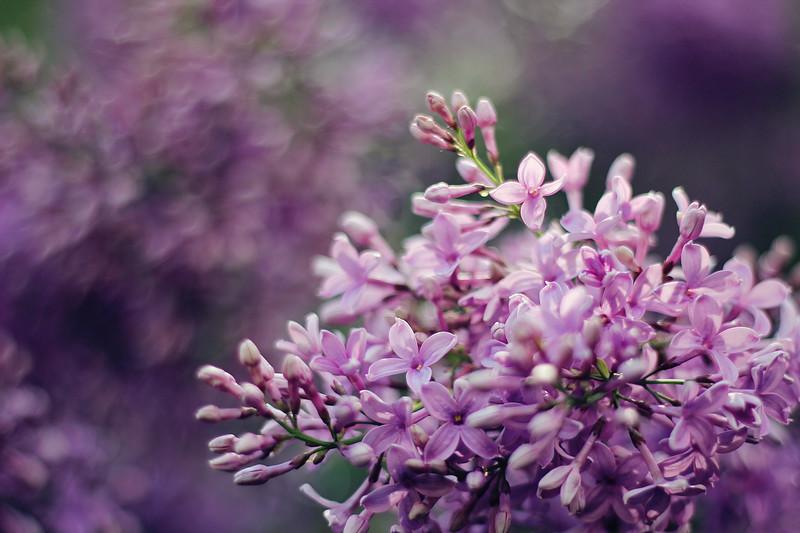 Lilacs In Bloom....